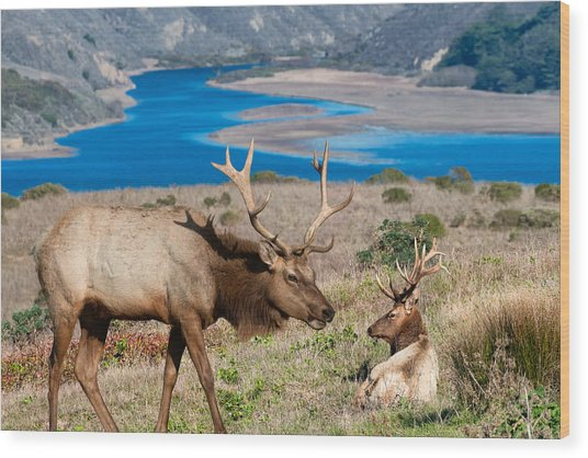Bull Elk Above Tomales Bay Wood Print