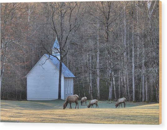Bull Elk Attending Palmer Chapel  In The Great Smoky Mountains National Park Wood Print