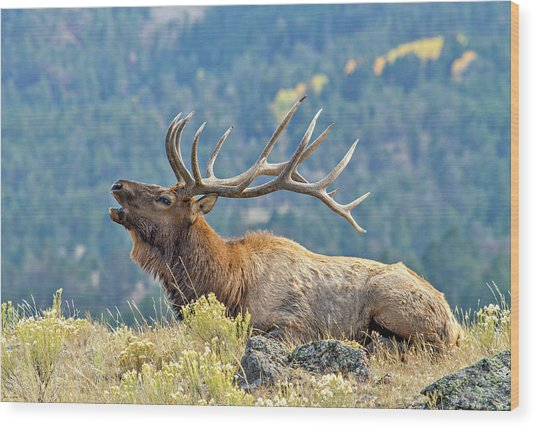 Wood Print featuring the photograph Bull Elk Bugling by Wesley Aston