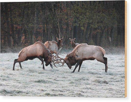 Bull Elk Fighting In Boxley Valley Wood Print