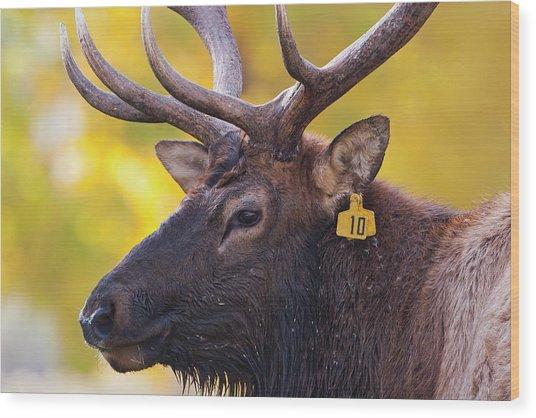 Bull Elk Number 10 Wood Print
