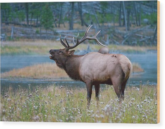 Wood Print featuring the photograph Bull Elk by Wesley Aston