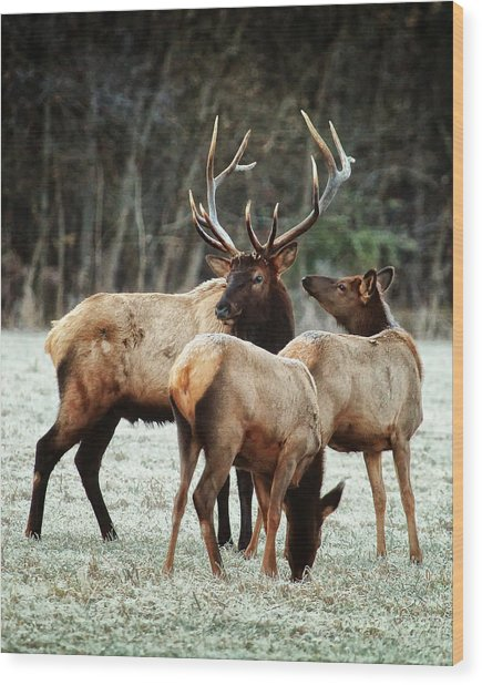 Bull Elk With Cows In The Late Rut Wood Print