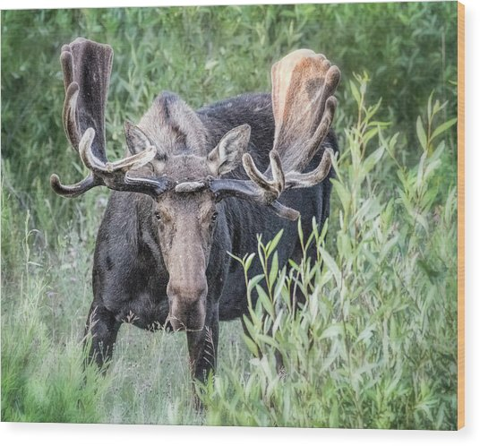 Wood Print featuring the photograph Bull Moose, Grand Tetons by Gigi Ebert