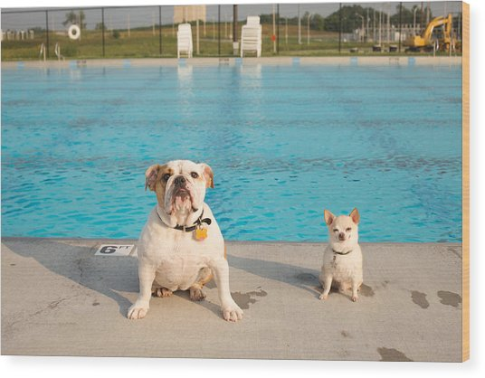 Bulldog And Chihuahua By The Pool Wood Print