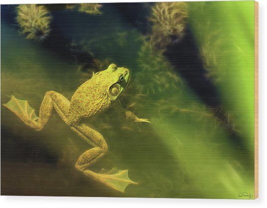 Bullfrog In A Pond Wood Print