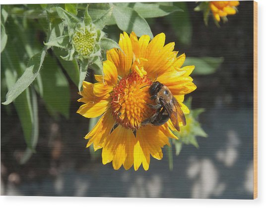 Bumble Bee Collecting Pollen On Sunflower Wood Print