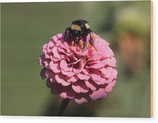 Bumble Bee On Zinnia 2649 Wood Print