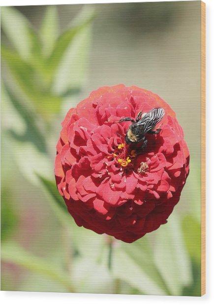 Bumble Bee On Zinnia Wood Print
