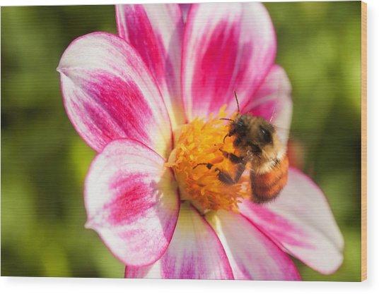 Bumble Bee Pollination Wood Print