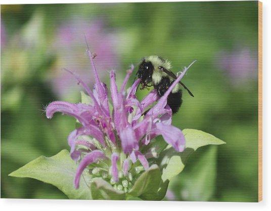 Bumblebee On Bee Balm Wood Print