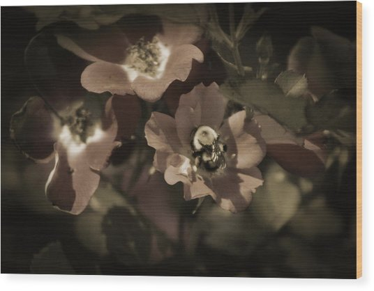 Bumblebee On Blush Country Rose In Sepia Tones Wood Print
