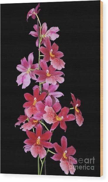 Burrageara Nelly Isler, Swiss Beauty Wood Print