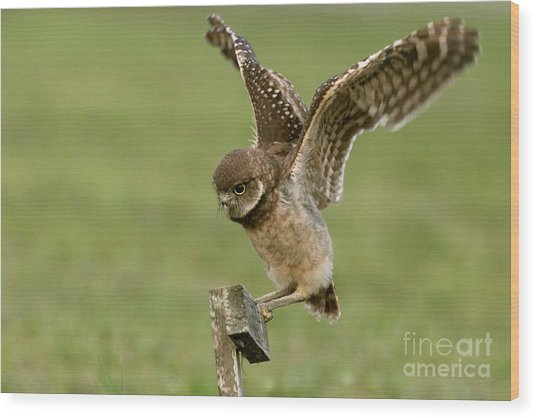 Burrowing Owl - Learning To Fly Wood Print