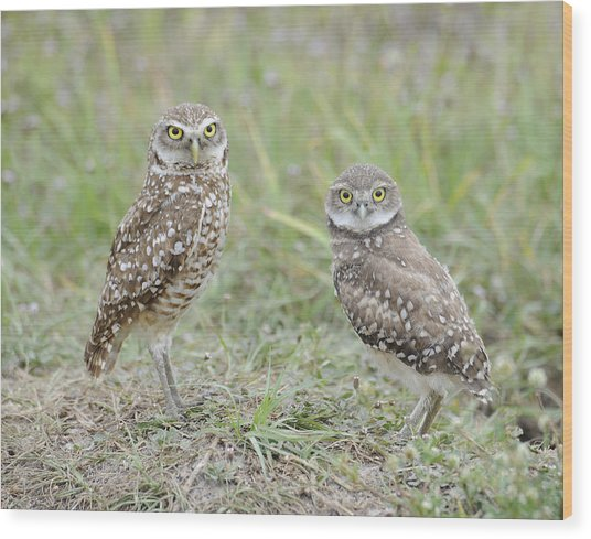 Burrowing Owls Nesting Wood Print by Keith Lovejoy