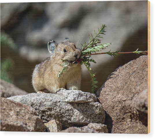 Busy As A Pika Wood Print