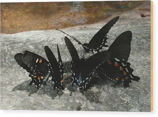 Butterflies Drinking Wood Print