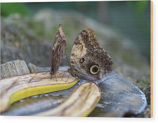 Wood Print featuring the photograph Butterflies Eating Bananas by Raphael Lopez