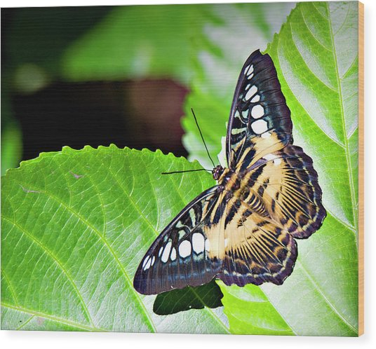 Butterfly 13a Wood Print