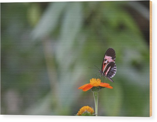 Butterfly 16 Wood Print