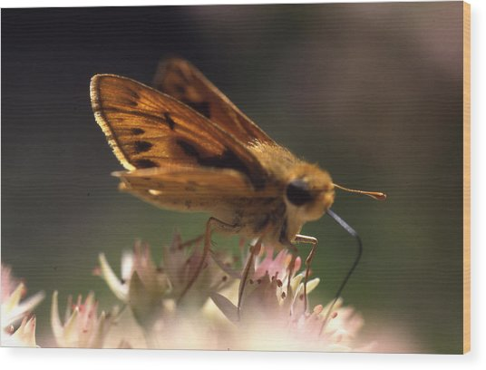 Butterfly-lick Wood Print