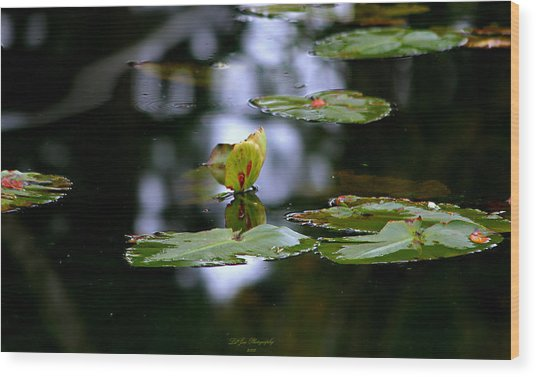 Butterfly Lily Pad Wood Print