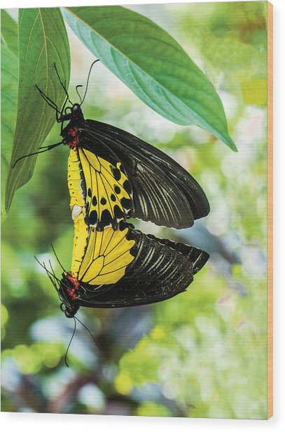 Butterfly Mating Wood Print