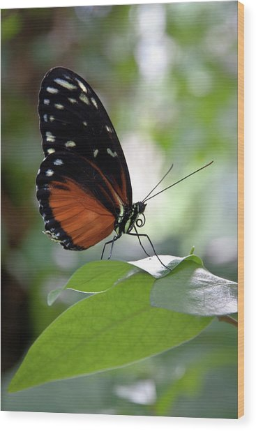 Butterfly Royalty Wood Print