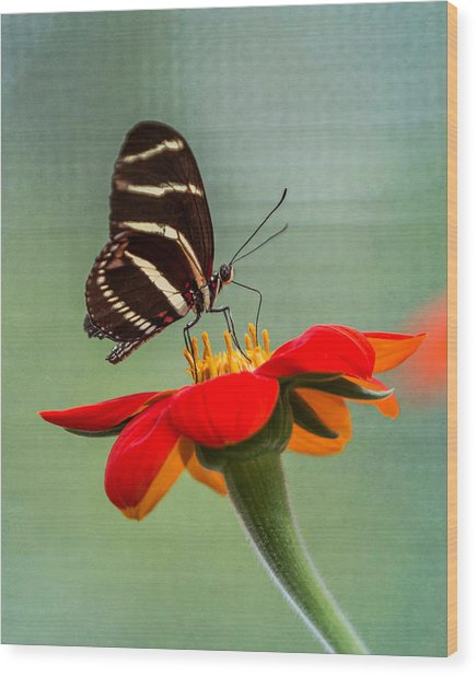 Butterfly Zebra Longwing On Zinnia Wood Print