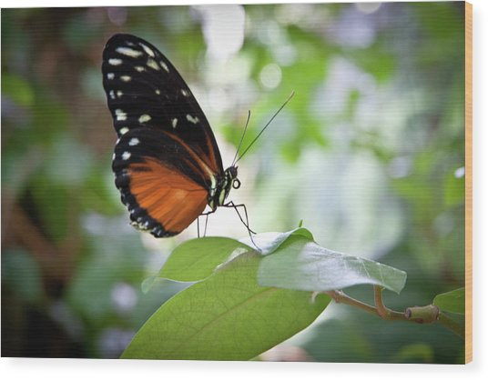 Butterfly2 Wood Print