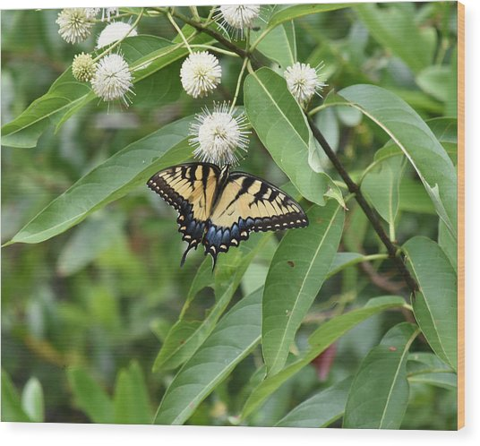 Button Willow Honeyball And Tiger Swallowtail Butterfly Wood Print by rd Erickson