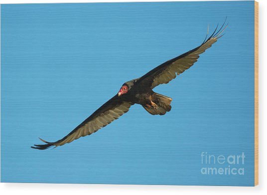 Buzzard Circling Wood Print