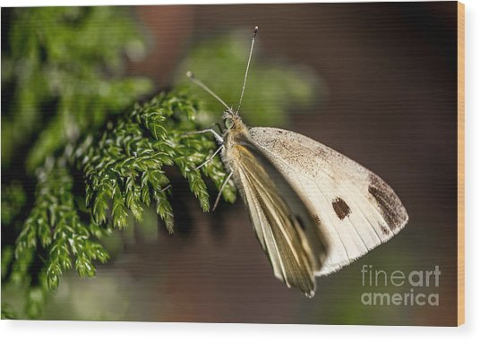 Cabbage Butterfly On Evergreen Bush Wood Print