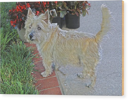 Cairn Terrier On The Patio Wood Print