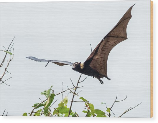 Cairns Fruit Bat Wood Print