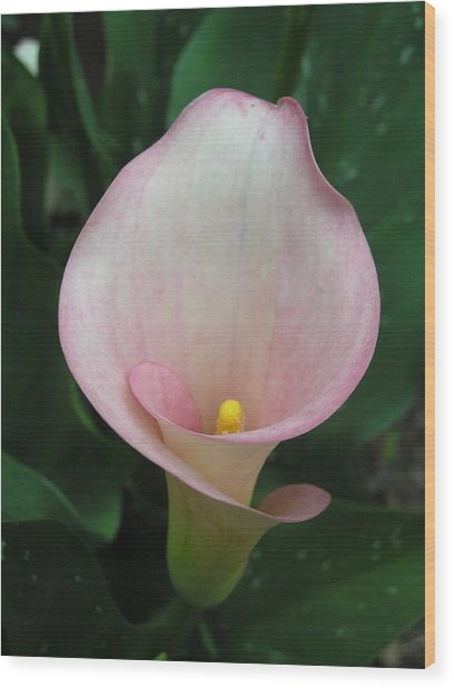 Cala Lily Wood Print by Jeanette Oberholtzer