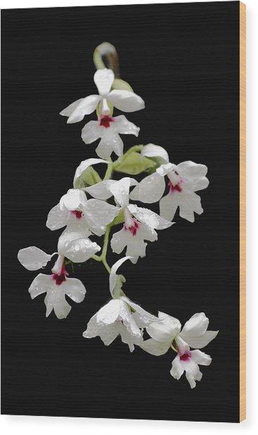 Calanthe Vestita Orchid Wood Print