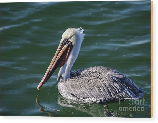 California Brown Pelican In Late Summer Wood Print
