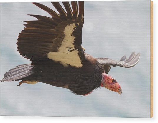 California Condor At Big Sur Wood Print