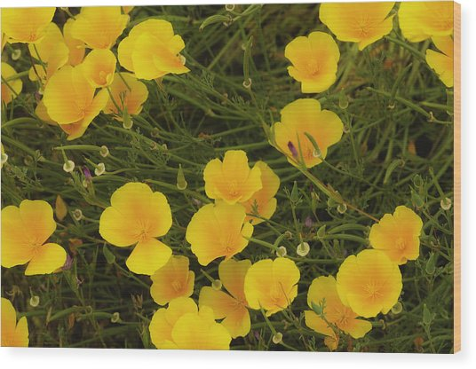 Wood Print featuring the photograph California Poppies by Sherri Meyer