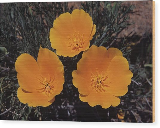 California Poppy Trio Wood Print