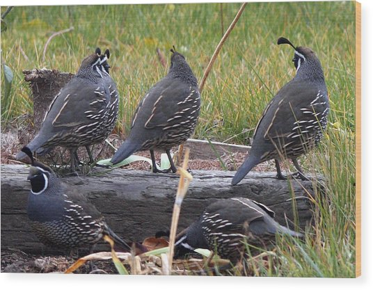 California Quail - 0001 Wood Print