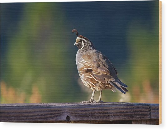 California Quail Wood Print