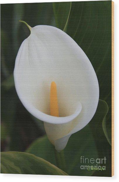 Perfect White Calla  Wood Print
