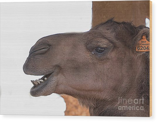 Camel Face Wood Print by Jim Wright