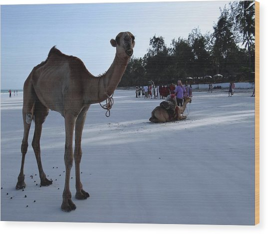 Camel On Beach Kenya Wedding 6 Wood Print