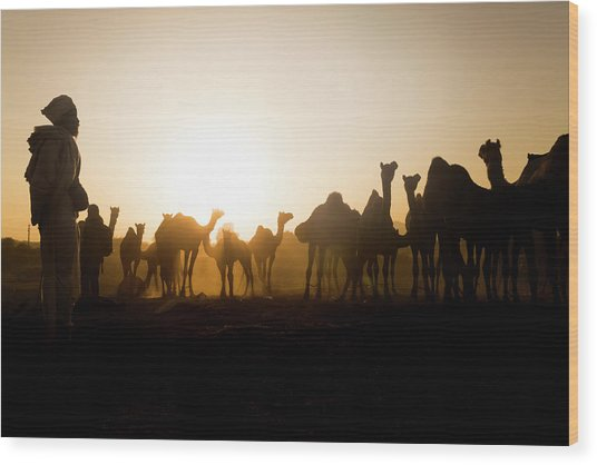Camels At Pushkar During Sunset Wood Print