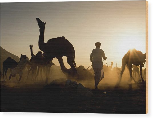Camels During Sunset At Pushkar Wood Print
