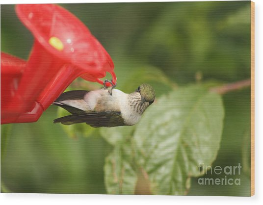 Can I Help You Hummingbird  Wood Print