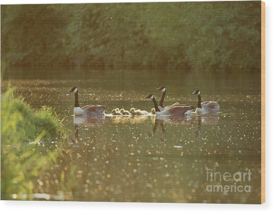 Wood Print featuring the photograph Canada Goose Geese Family - Branta Canadensis - With Goslings On A by Paul Farnfield